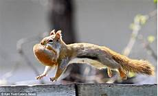 Where Do Squirrels Live Protective Mother Squirrel Goes Nuts She Carries Off Her
