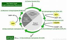 Does The Calvin Cycle Require Light Energy 6 Photosynthesis Dark Reactions Or Calvin Cycle