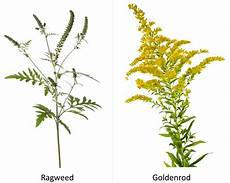 Ragweed Picture Progressive Charlestown Ragweed May Expand Its Range