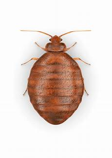 bed bug photos free image hq png image