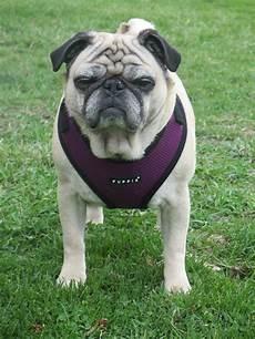 Pug Life Harness Size Chart Puppia Harness Size Chart Pug Goldenacresdogs Com