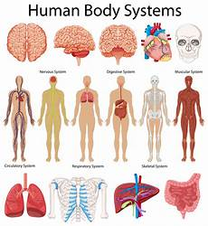 11 Body Systems Diagram Showing Human Body Systems Download Free Vectors