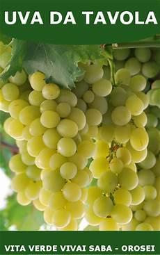 uva da tavola uva da tavola viti innestate in vaso 10