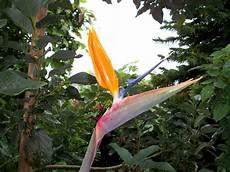 fiore uccelli paradiso uccello paradiso fiore immagine gratis domain