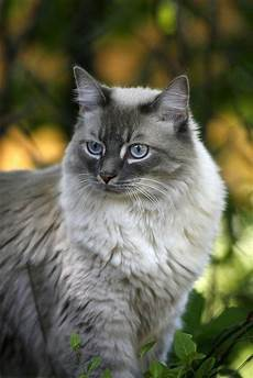 Light Grey Kitten Gorgeous Light Grey Cute Cat Click On Pic To See More
