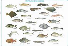 Maine Fish Species Chart Nz Fish Identification Welcome To Algies Bay