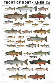 Maine Fish Species Chart Use These Charts To Confidently Id Trout Amp Salmon Species