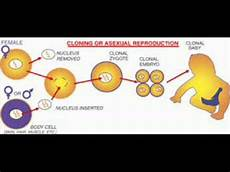 Somatic Cell Nuclear Transfer Somatic Cell Nuclear Transfer Youtube