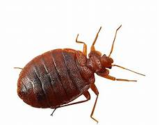 bed bug removal prevention protection jp pest