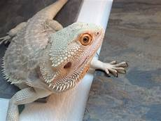 Bearded Dragon Color Chart Bearded Dragon Colors And Patterns Wallpapers Gallery