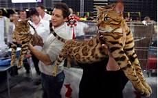 Bengal Cat Size Chart Bengal Cat Purrfect Bengals
