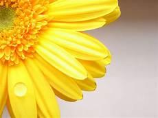 Yellow Flower Wallpaper by Bloemen Achtergronden Hd Wallpapers