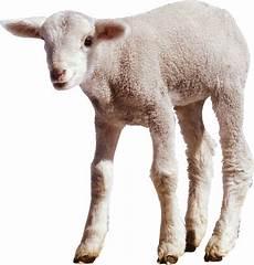 Animal Baby Sofa Png Image by Sheep Png Picpng