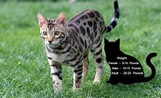 Bengal Cat Size Chart Bengal Kittens 10 Facts Every Bengal Cats Lover Must