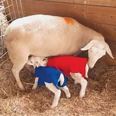 Newborn Lamb Newborn Lamb Amp Kid Covers Premier1supplies