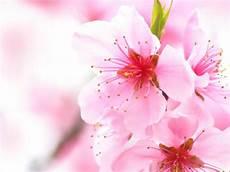 blumen malvorlagen jepang cherry blossom flowers flowers wallpapers