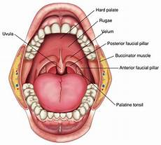Palatine Tonsils Dental And Anatomy Test 1 Dental Hygiene 1012 With