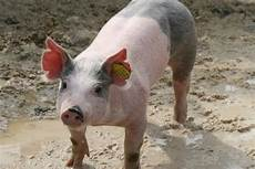 Ear Notch Pig Ear Notching For Identification Pig Forum The Forum