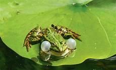 frosch im teich fr 246 sche im teich fr 246 sche und teich