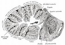 Cerebellum Anatomy Anatomy Of The Cerebellum Wikipedia