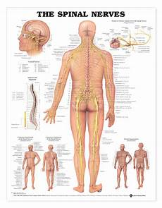 Chart Of Nerves In Back Spinal Nerves Charts 1952