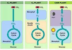 C3 C4 And Cam Plants Chart C3 C4 And Cam Plants Bioninja