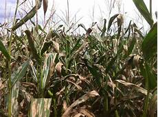 Leaf Blight Does Your Corn Have Northern Corn Leaf Blight Agronomator