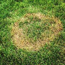 Brown Patch Grass How To Prevent Brown Patch Fungus Turf Masters Lawn Care