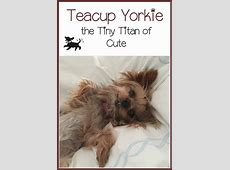 Teacup Yorkie: Tiny Titan of Cute Hypoallergenic Dogs