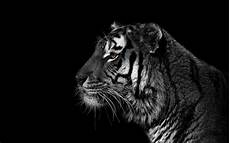 black and white tiger iphone wallpaper black and white animals tigers wallpaper 82288