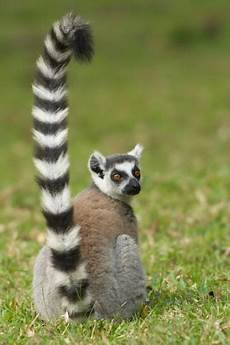 Little Animals With Long Tails Little Body Long We Like Your Style Mr Lemur