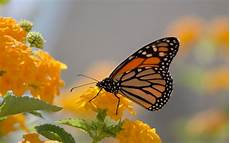 Flower Wallpaper For Home Screen by Monarch Butterfly And Yellow Lanthana Desktop Wallpaper