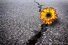 fiori tra l asfalto fiore in asfalto fotografia stock libera da diritti