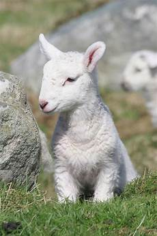 Newborn Lamb Are We Gods In Embryo Family Home Evening Lessons