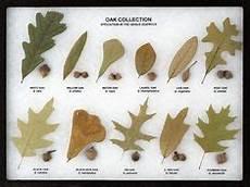 Oak Leaf Id Chart Michigan Tree Identification By Leaf Identify Trees By