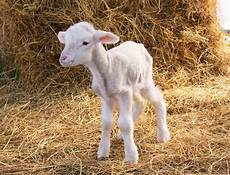 Newborn Lamb Ewe Abortion And Newborn Lamb Deaths Surveillance Program