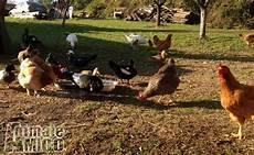 animali da cortile in vendita vendita anatra da privato a pistoia animali da cortile di