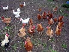 animale da cortile animali da cortile ruspanti roncadizza l 252 maghera