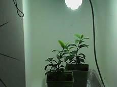 Lemon Best Lights Indoor Grow Light Garden Lemon Tree Update April 27th