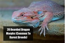 Bearded Dragon Color Chart Bearded Dragon Morph Chart