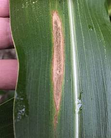 Leaf Blight Northern Corn Leaf Blight Continues Gray Leaf Spot Starts