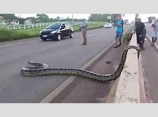 Giant Anaconda Blocks Traffic in Brazil