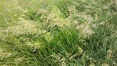 Fescue Hay Observations In Agriculture Cool Season Forage Grasses