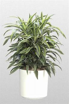 Dracaena Low Light Dracena Dracaena Houseplants