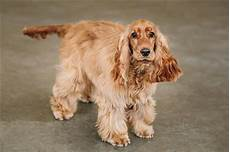 American Cocker Spaniel Size Chart Striking Differences Between American And English Cocker