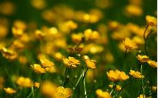 Yellow Flower Wallpaper by 4k Yellow Flowers Wallpapers High Quality Free