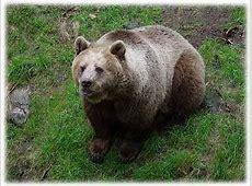 Fjällfakta: Björn