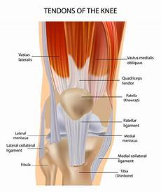 Knees Ligaments And Tendons Knee Muscle And Tendon Injuries Chris Bailey Orthopaedics