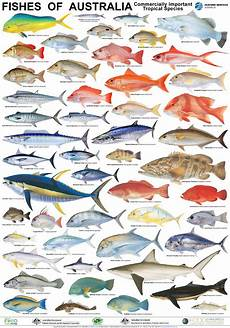 Maine Fish Species Chart Seafood Posters Mfma
