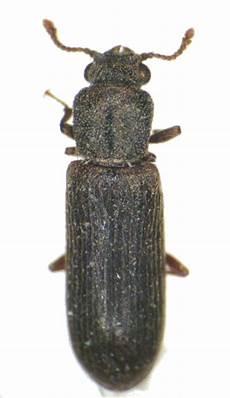 Powderpost Beetle Powderpost Beetle